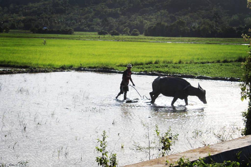 Peste tot sunt câmpuri de orez