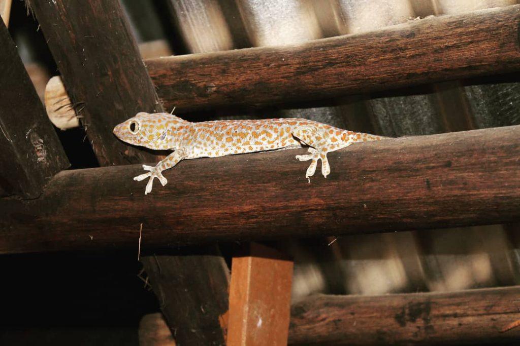 Un geko gălăcios și mare, de 30 cm (coadă inclusă), pe prispa casei