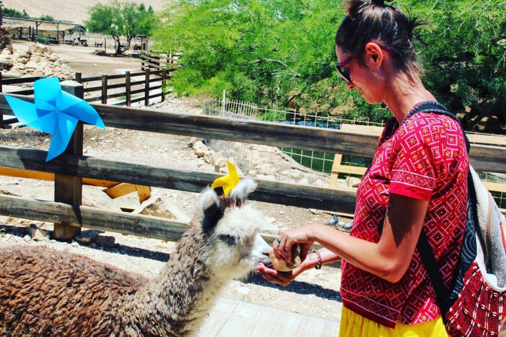 Hrănind o alpaca simpatică