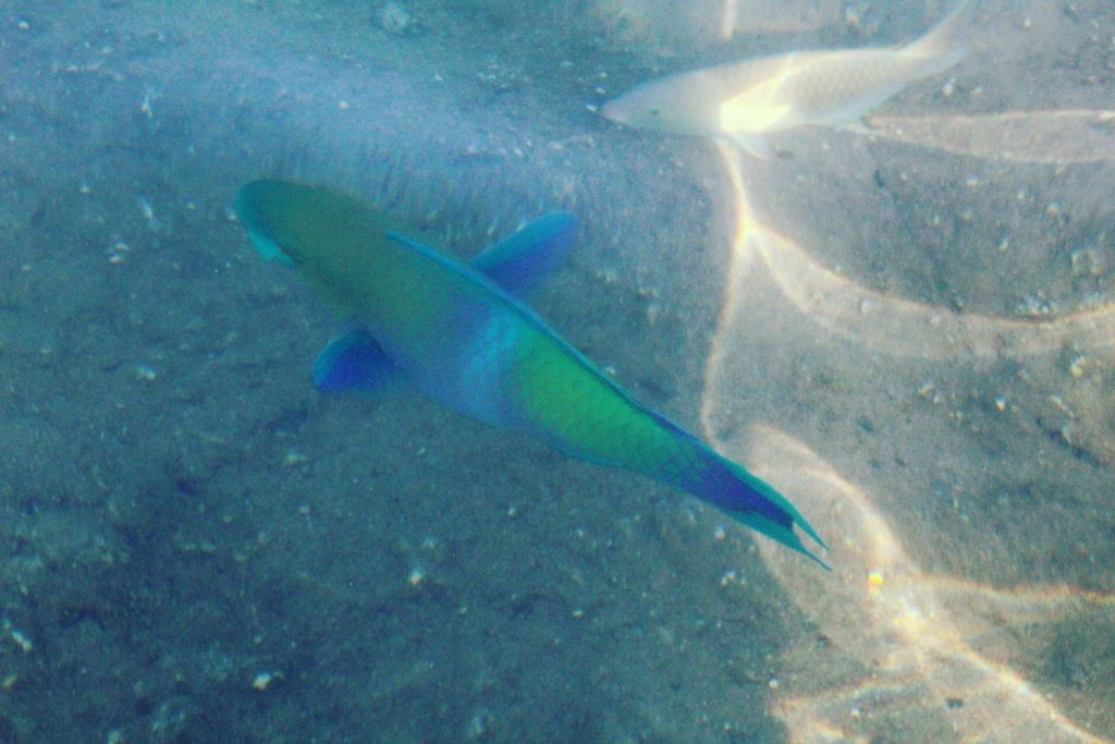 Pește sclipicios