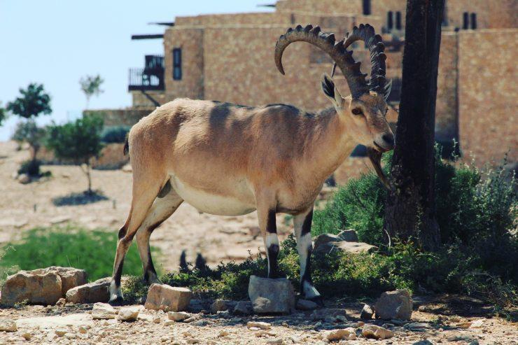 Ibex falnic de Mitzpe Ramon