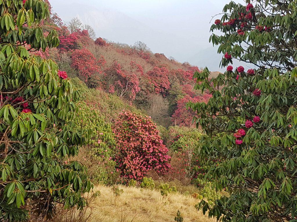 Rododendroni pe traseu