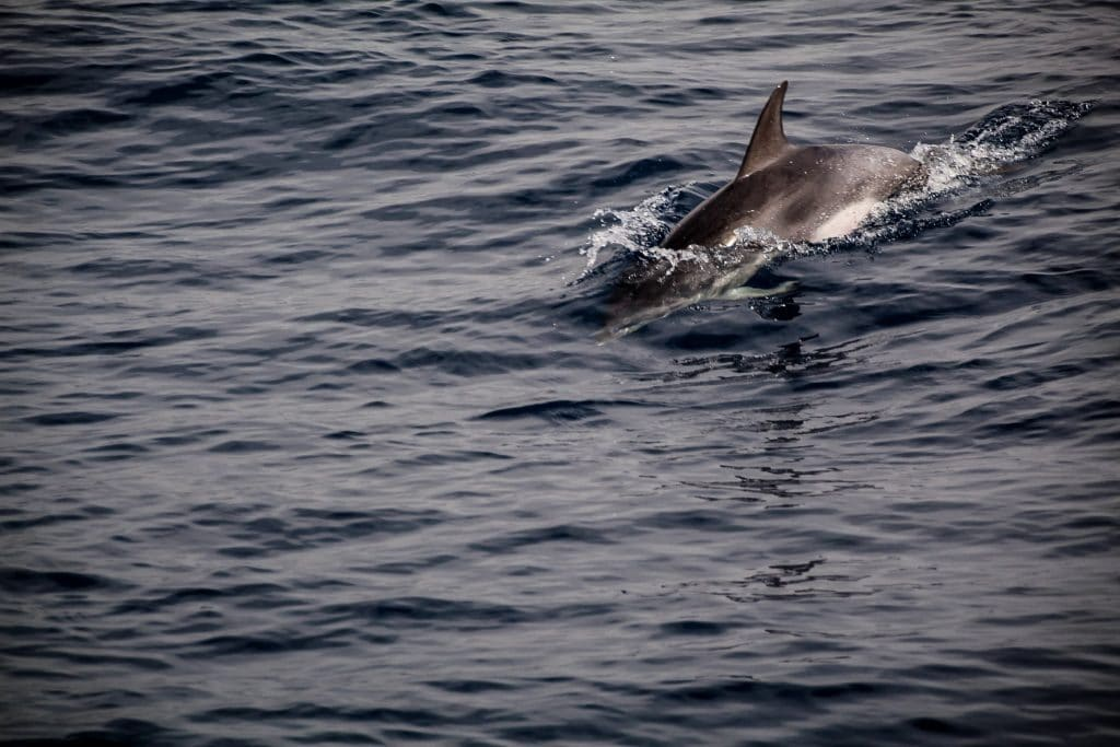 Delfinii sunt rezidenți în apele din jurul insulelor.