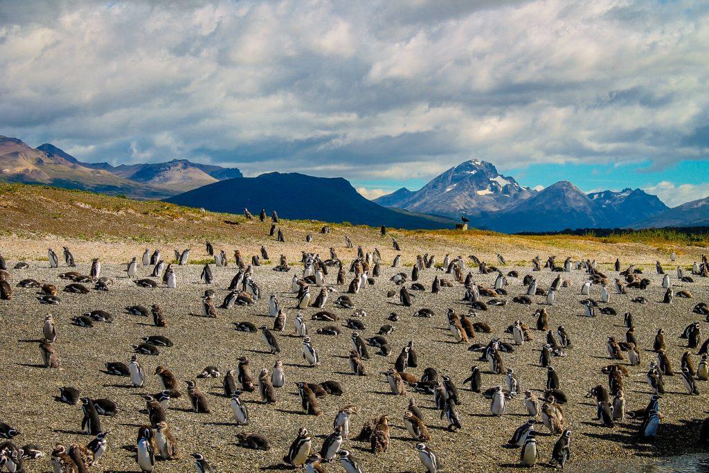 Pinguini în Argentina