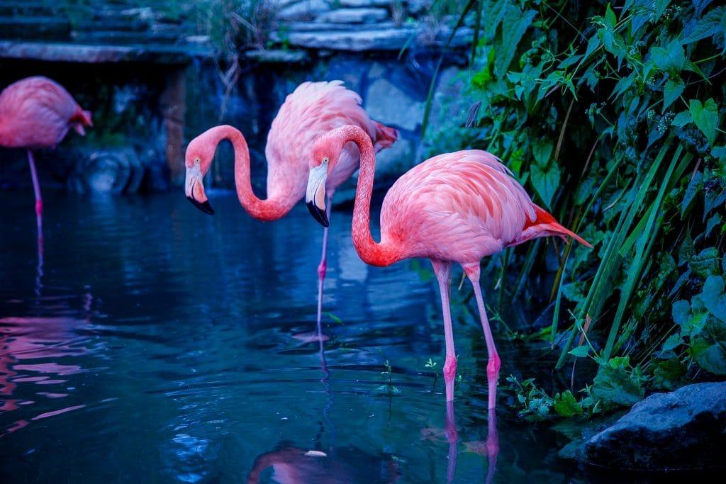 Flamingo în Republica Dominicană