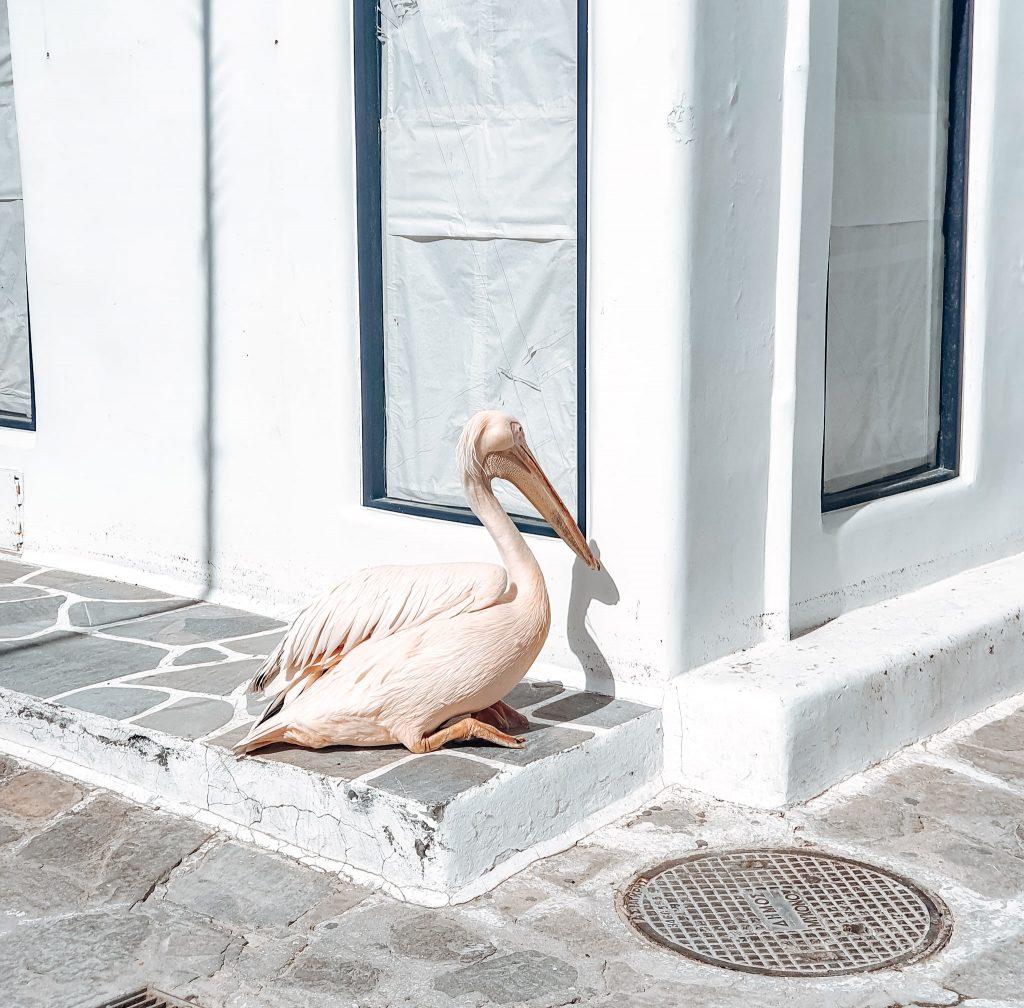 Unul dintre pelicanii faimoși ai insulei