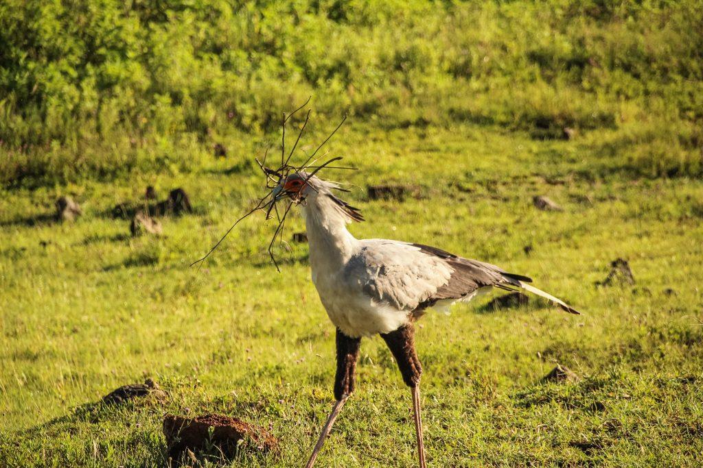 Secretary Bird, numită așa după outfitul secretarelor britanice