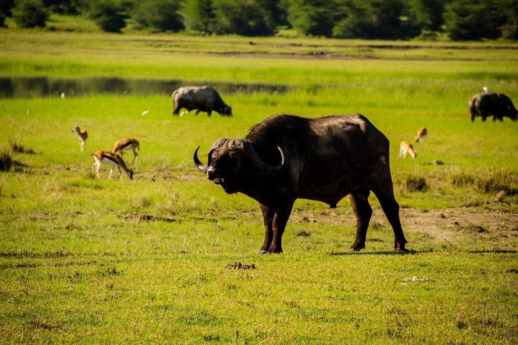 Bivol, Ngorongoro