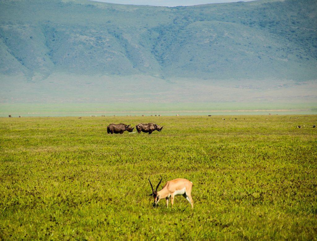 Rinoceri, în Craterul Ngorongoro
