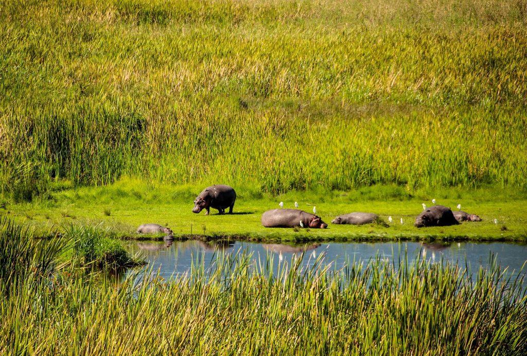 Hipopotami în Ngorongoro