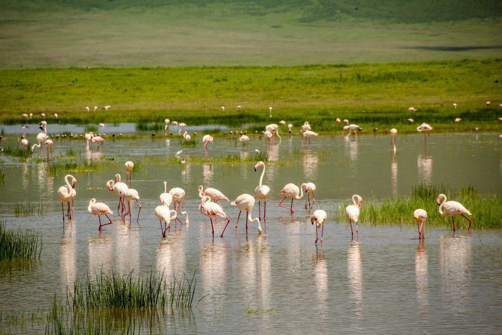 Câțiva flamingo în Ngorongoro