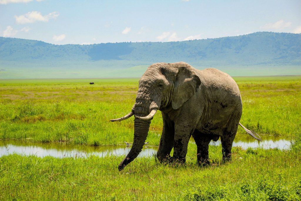 Un elefant bătrân