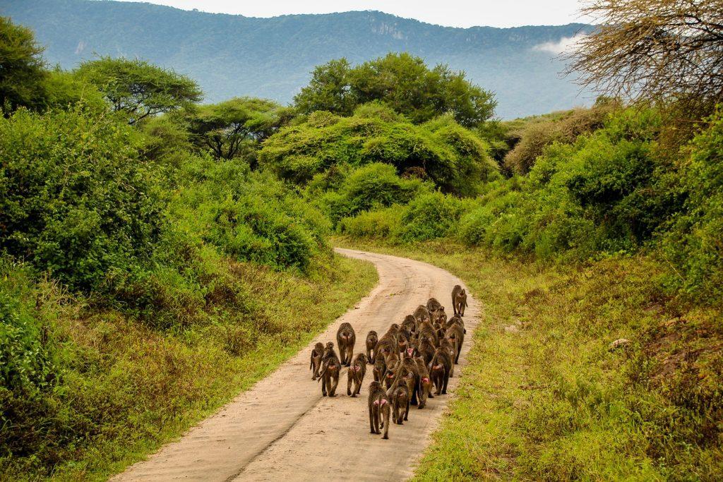 Babuini în Parcul Național Manyara