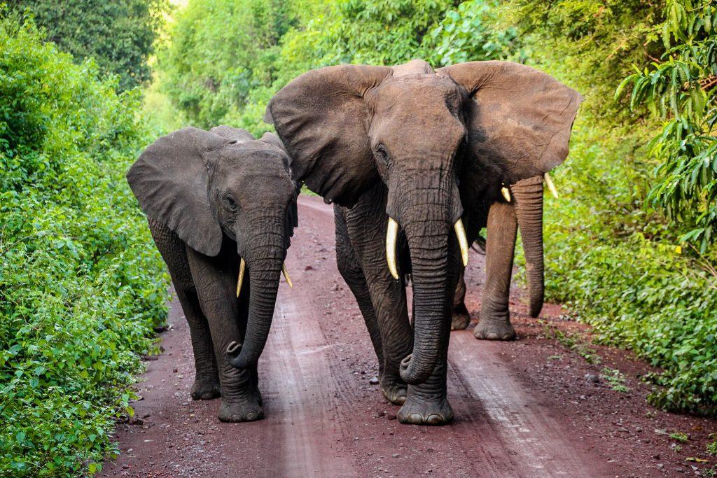 Elefanți în Manyara Lake