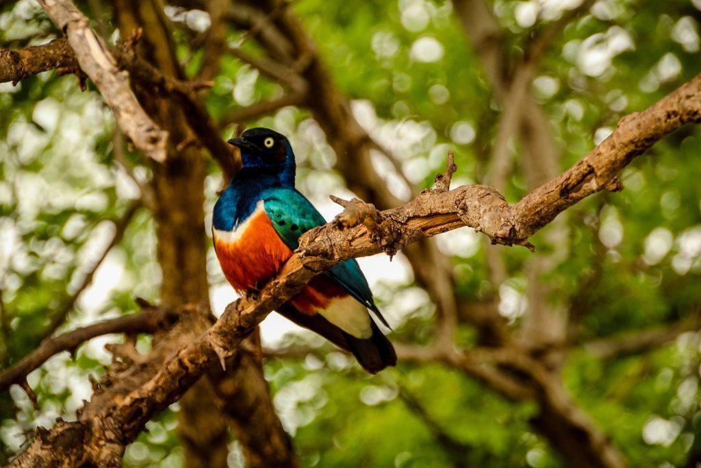 Superb starling, Tarangire