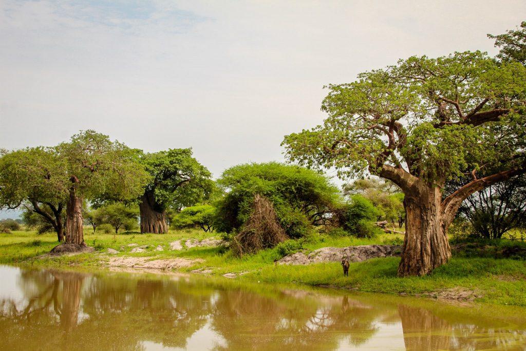 Baobabii din Tarangire