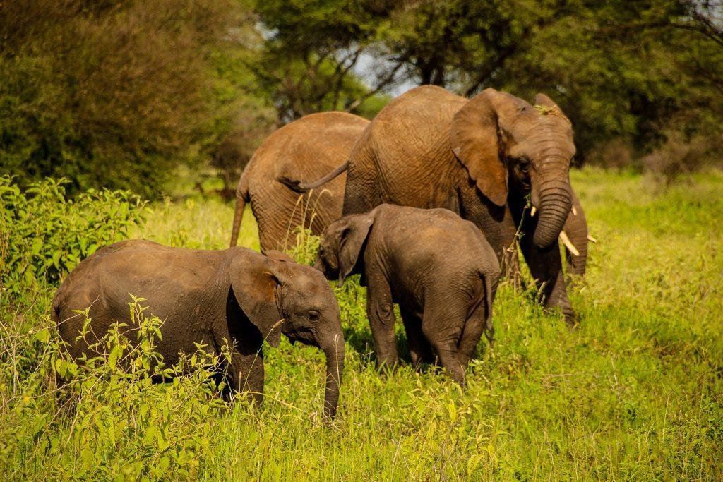Elefănței în Tarangire