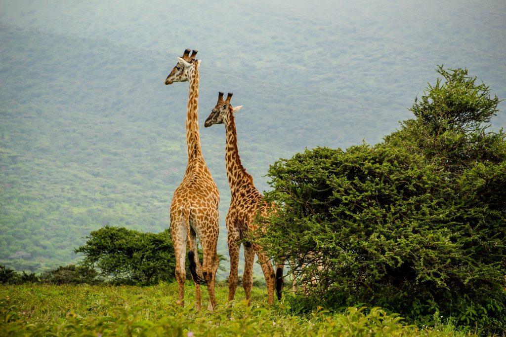 Girafe, Serengeti