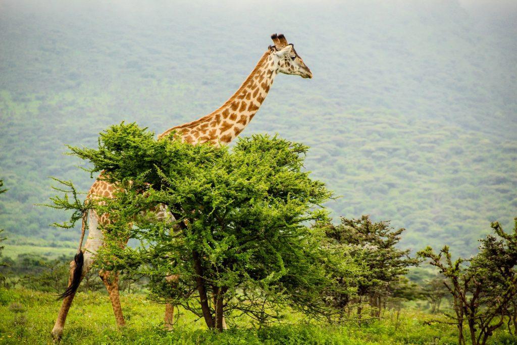 Girafa în copaci