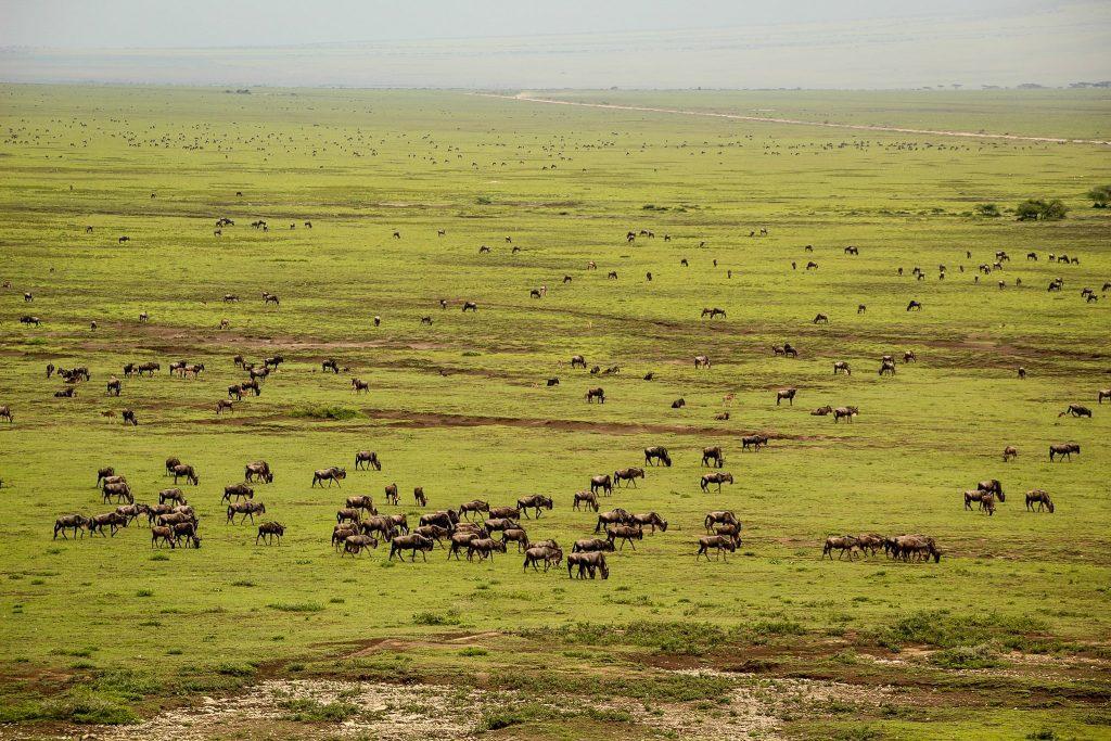 Antilopele gnu în Serengeti