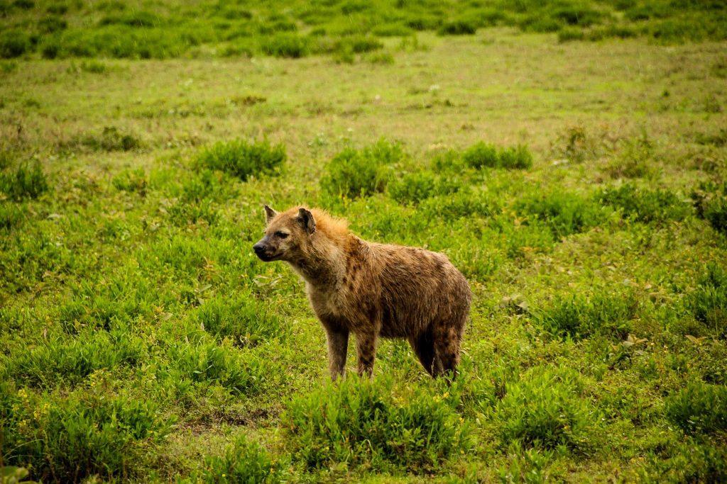 Hienele, oaspeții de noapte de la Seronera