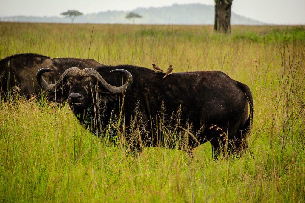 Bivoli în Serengeti