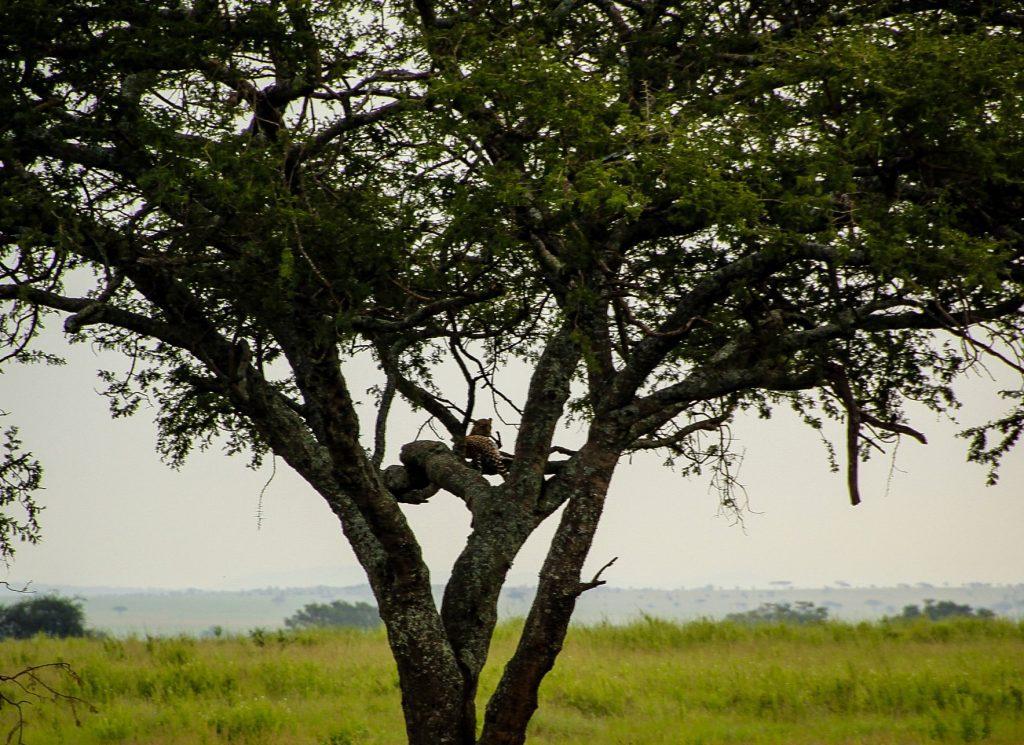 Acolo, printre crengi, este un leopard