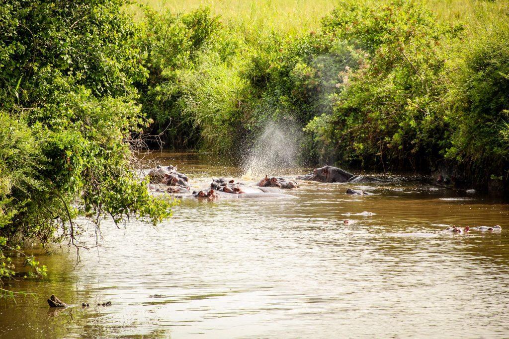 Hipopotami în Serengeti