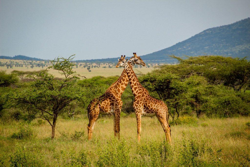 Girafe în Serengeti