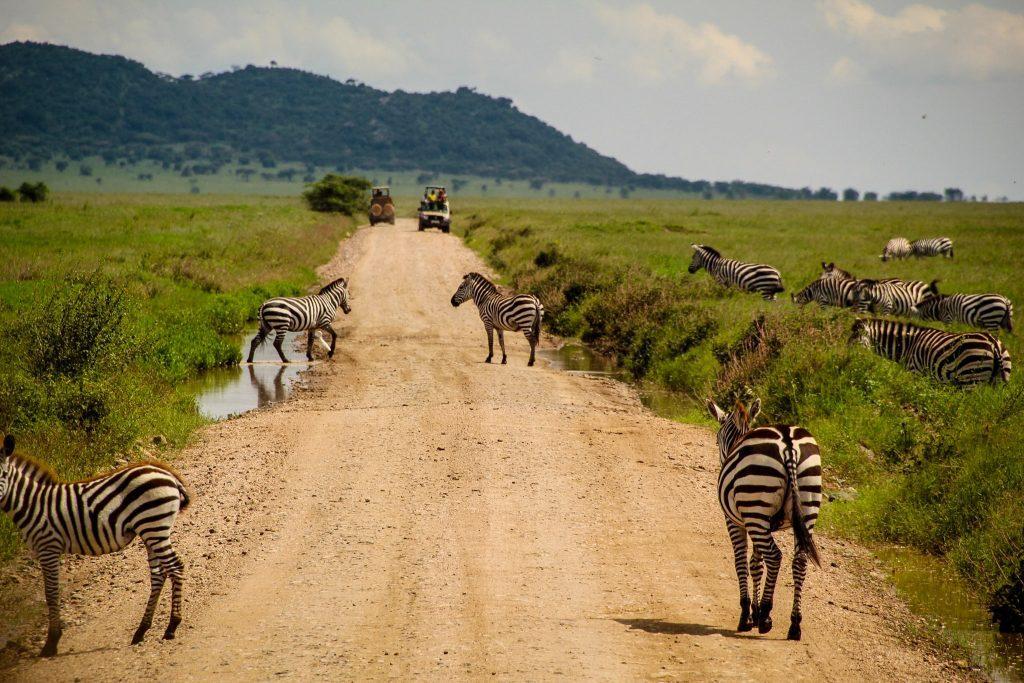 Zebra crossing în Serengeti