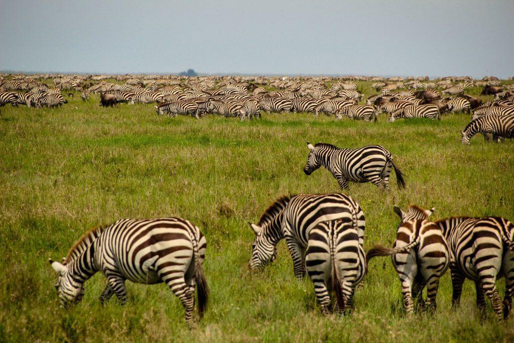 Muuulte zebre în Serengeti