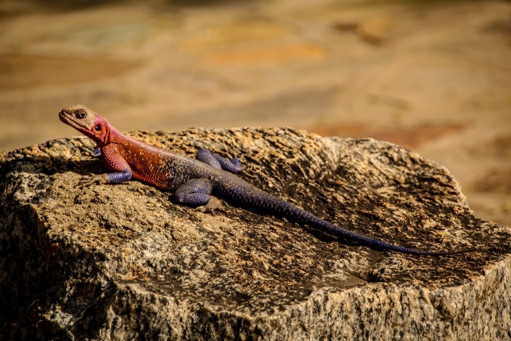 Șopârle dubios colorate în Serengeti