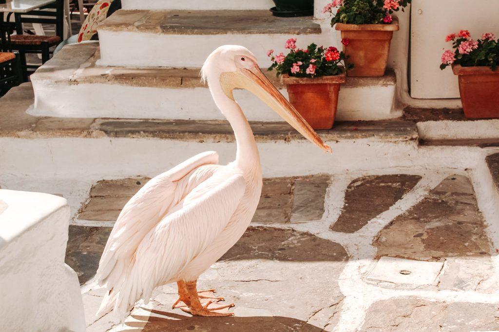Petros, pelicanul