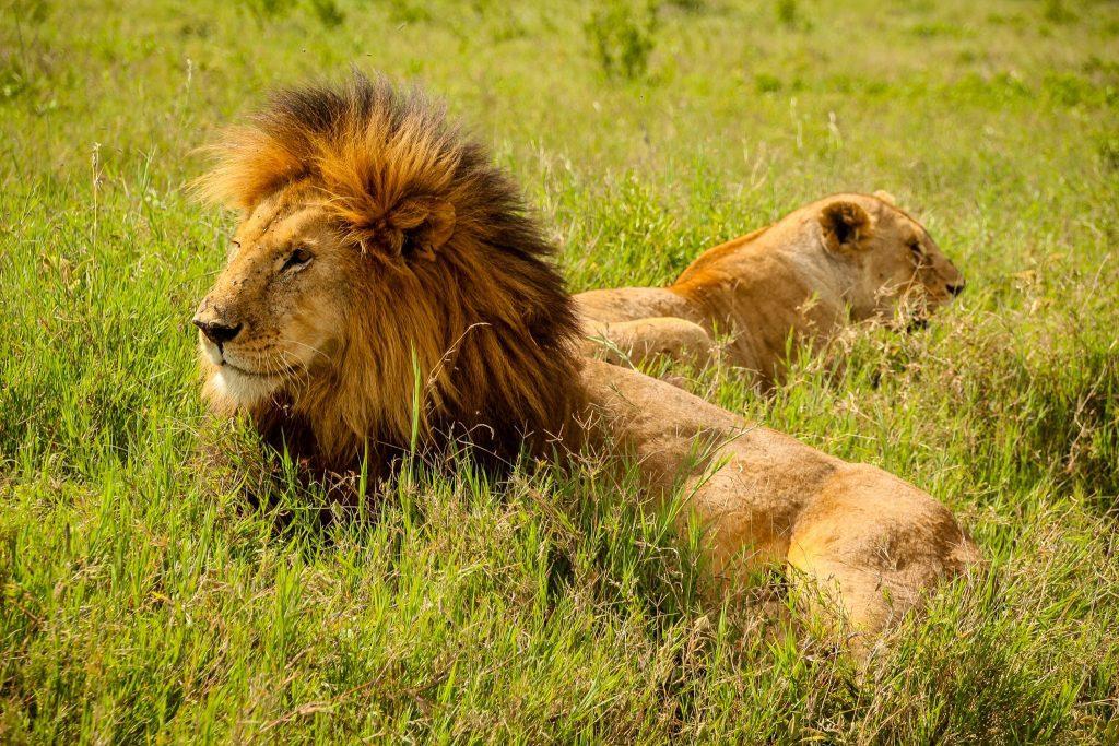 Leuți în Serengeti
